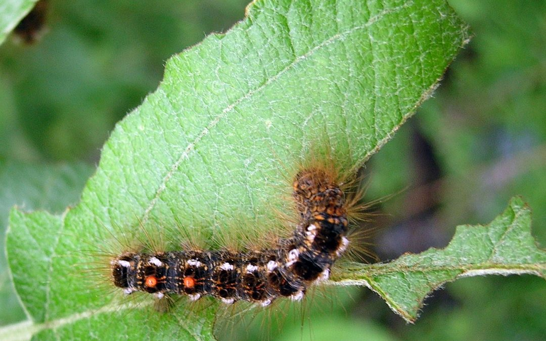 Browntail Caterpillars are Here, it's time to act!
